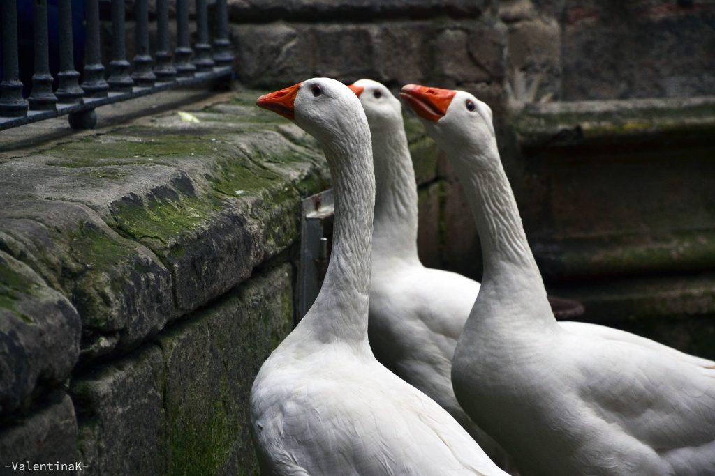 tre delle tredici oche bianche del chiostro della cattedrale di barcellona